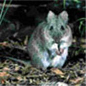 Potoroo profile picture