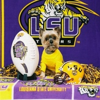 LSU Fan Yorkie.JPG
