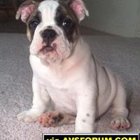 Shot of Jake when he was a couple of months old, before he was a fatbulldog.