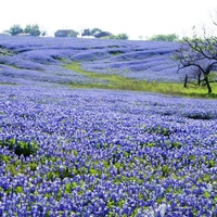 Texas Bluebonnets.jpg